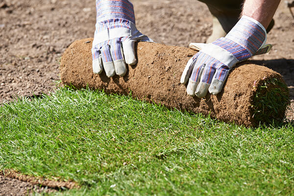 Using SUPERthrive on turf_photo shows person unrolling healthy green turf.