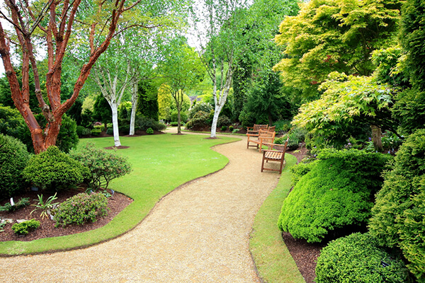 A beautifully landscaped garden with young birch trees growing and fresh mulch and healthy looking shrubbery.